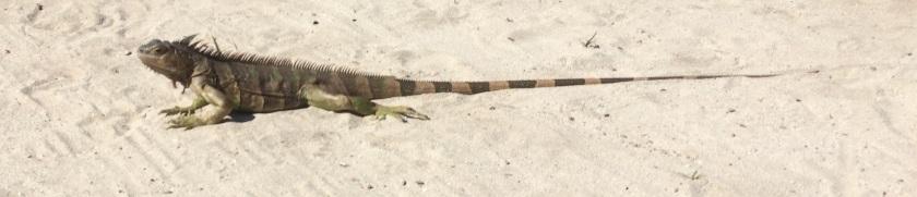 IMG_2883_TobagoCays_Iguana