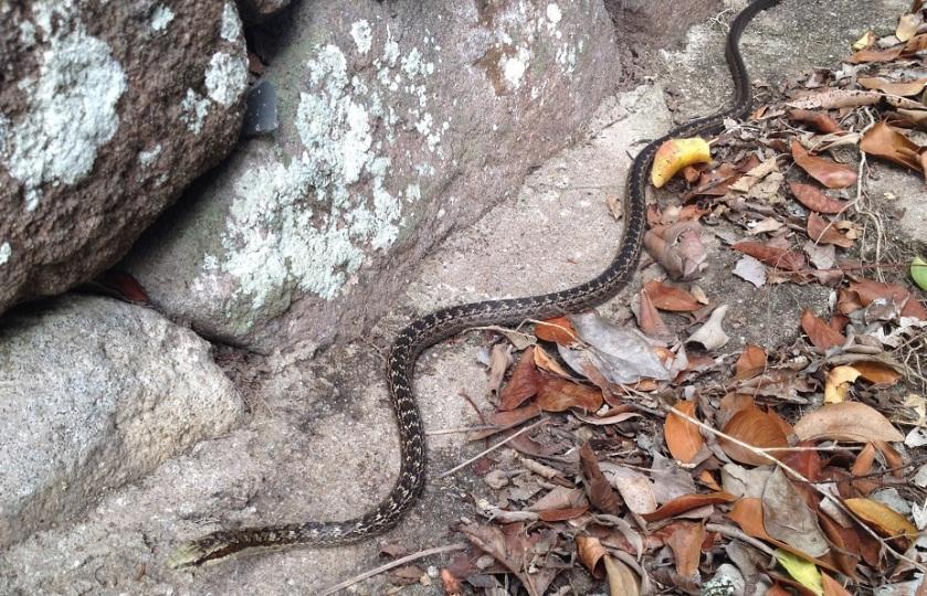IMG_3664_Saba_snake